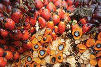 The fruits of the oil palm. Photo by Eric Wakker