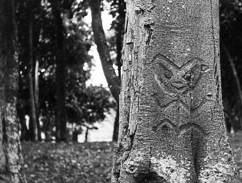 "Rākau Momori – images of Moriori ancestors etched into the ""memorial"" kōpi trees. Photo © Maui Solomon."